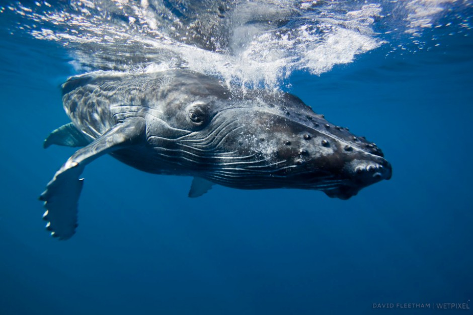 A humpback whale calf, Megaptera novaeangliae, leaves it's mother for a close look at the camera. Hawaii.