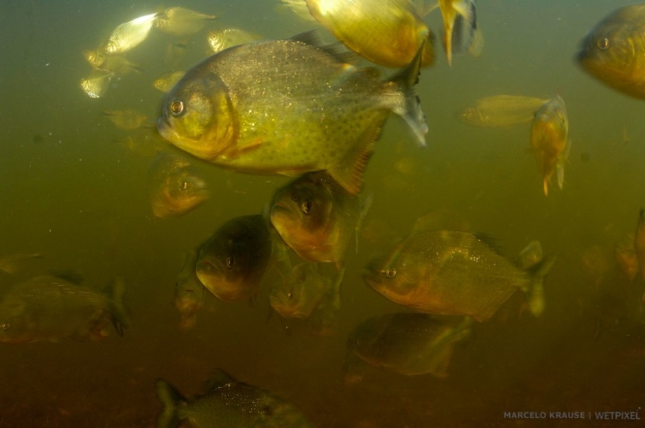 The legendary man-eating piranha (*Pygocentrus nattereri*). Although it can be dangerous and unpredictable in some situations, many locals dive and bathe in rivers where they occur without major incidents.