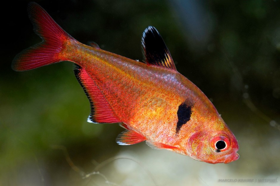 Serpae tetras (*Hyphessobrycon eques*) have a wide distribution range, covering almost all the Pantanal region. Their portuguese name makes reference to the state name: