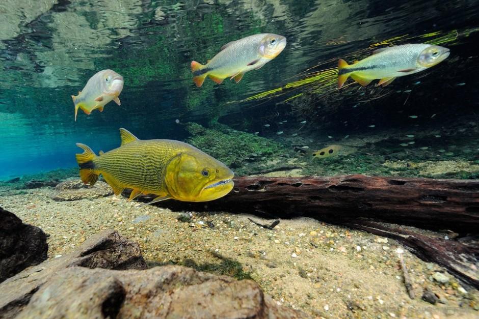 The dorado (*Salminus brasiliensis*) is carnivore fish often called