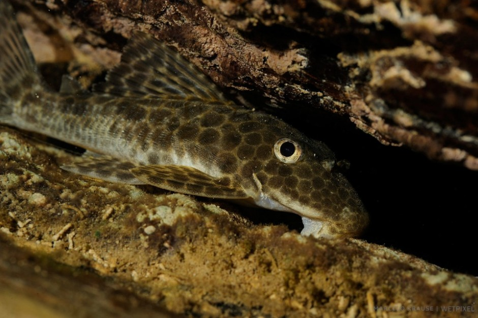 The inferior suckermouth (*Hypostomus plecostomus*) of the catfish is able to grasp algae and anchor the fish on the river bottom.