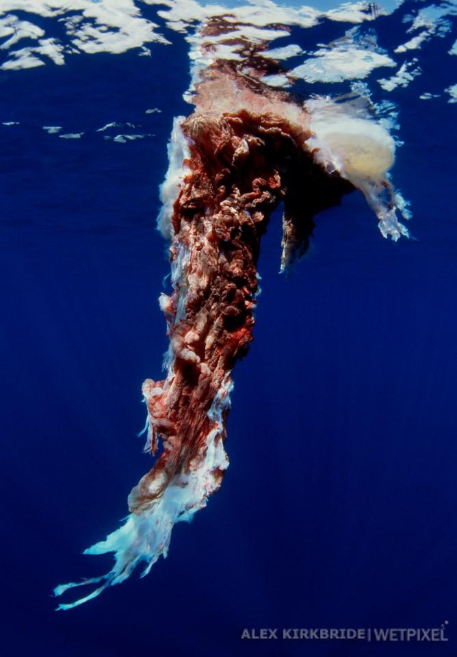 Humpback whale placenta, Manele Bay, Lanai, Hawaii.