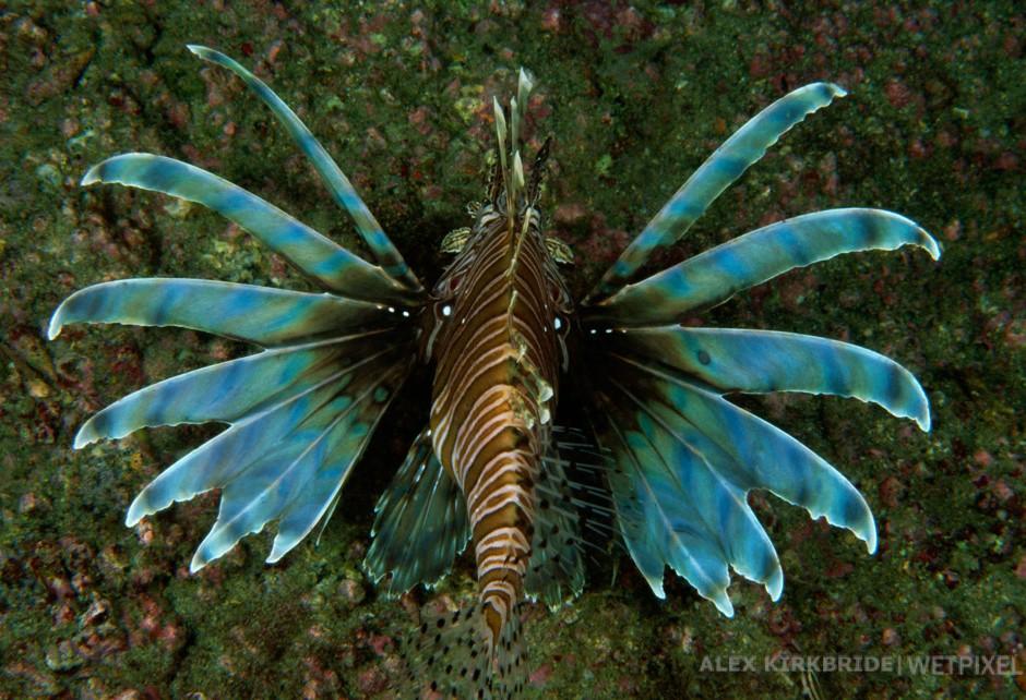 Lionfish, Papoose wreck, North Carolina