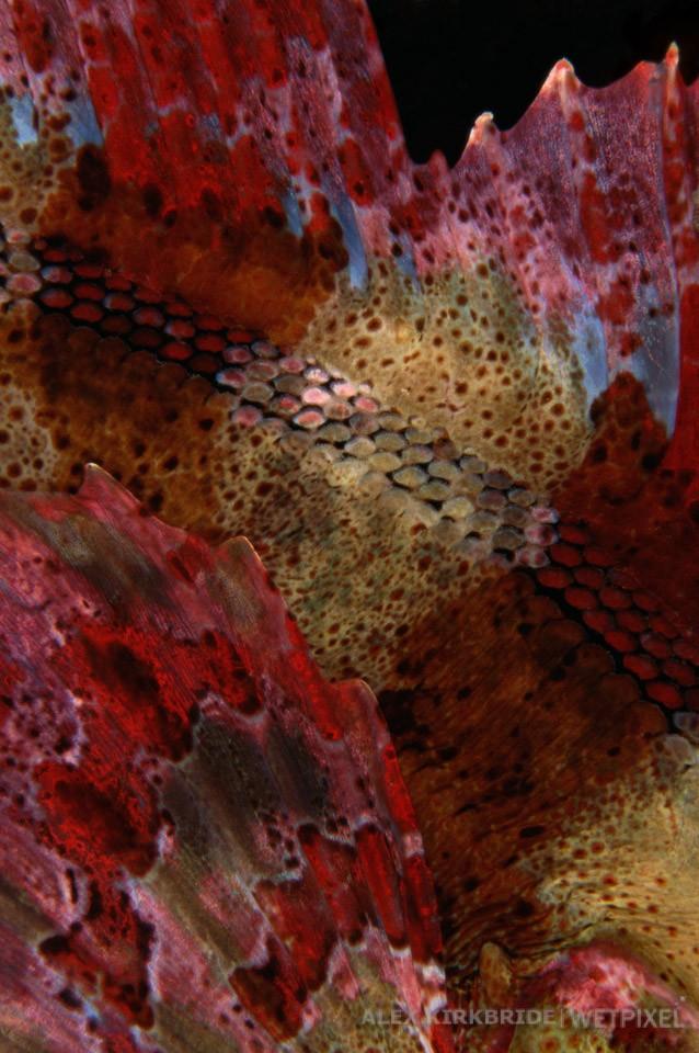 Red Irish Lord detail, Waadah Island, Washington.