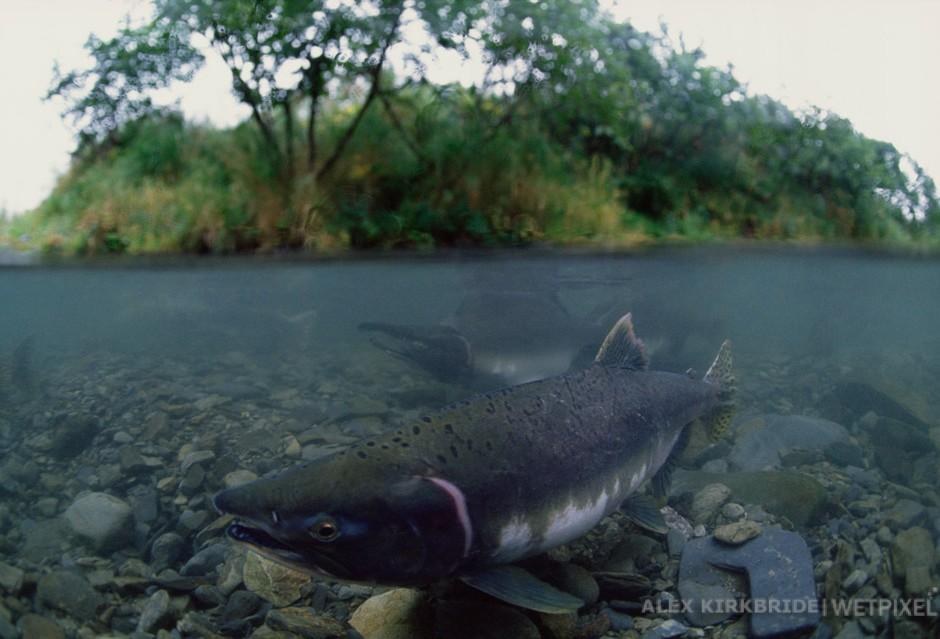 Female and male pink salmon, Buskin River, Kodiak Island, Alaska.