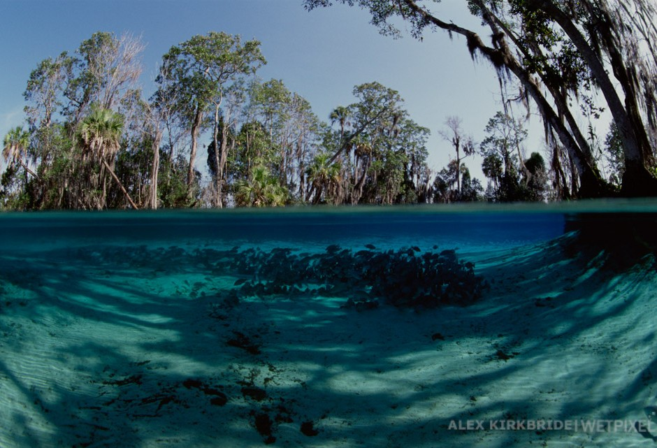 Mangrove snappers, The Three Sisters, Crystal River, Florida.