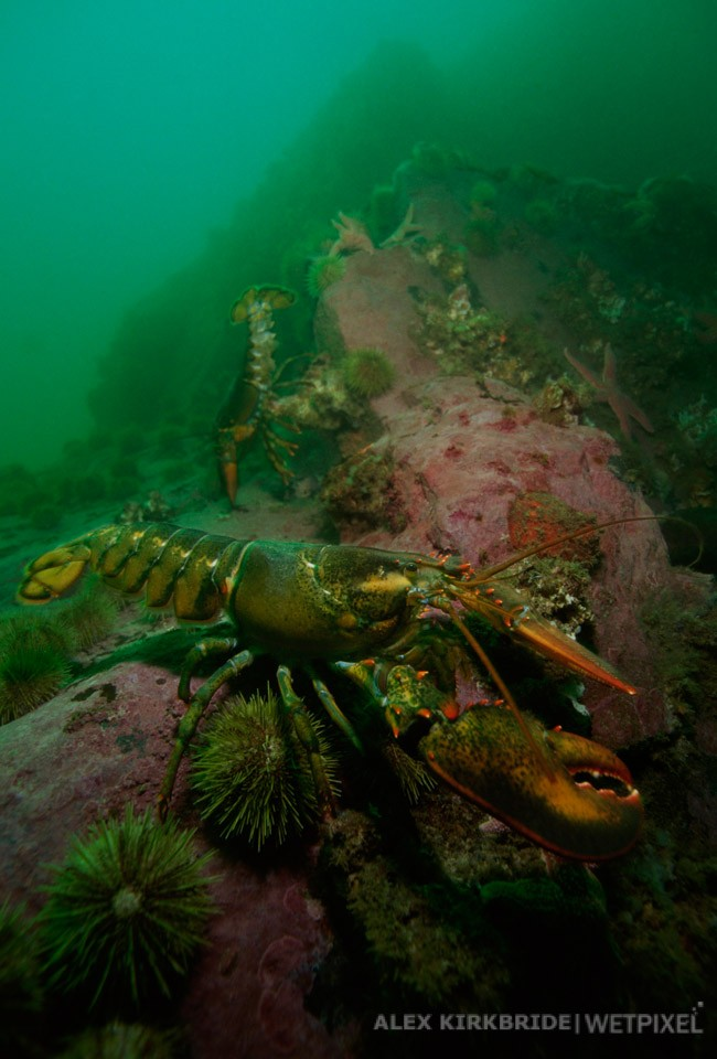 American Lobsters, Iron Bound Island, Frenchman's Bay, Maine.