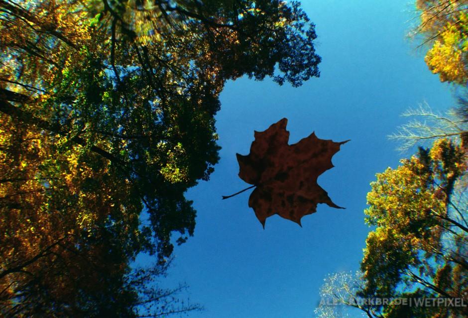 Maple leaf, Little Wappinger Creek, Salt Point, New York.