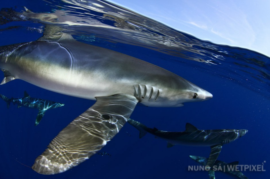 Blue shark (*Prionace glauca*).  Near-threatened Blue and Mako sharks can be found in several islands of the Azores, as well as on off-shore dives on remote underwater seamounts, such as Condor bank (off Pico and Faial Islands).