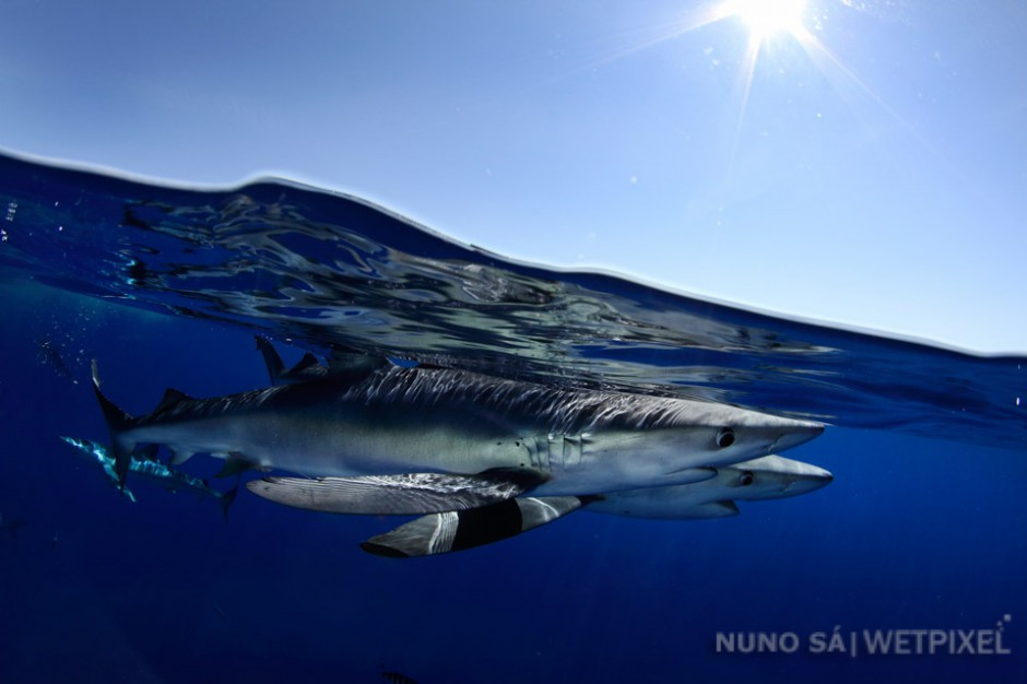 Blue shark (*Prionace glauca*). Azores - Condor Seamount (10 miles off Faial island)  The Azores are today regarded as the world's best destination for diving with blue sharks.