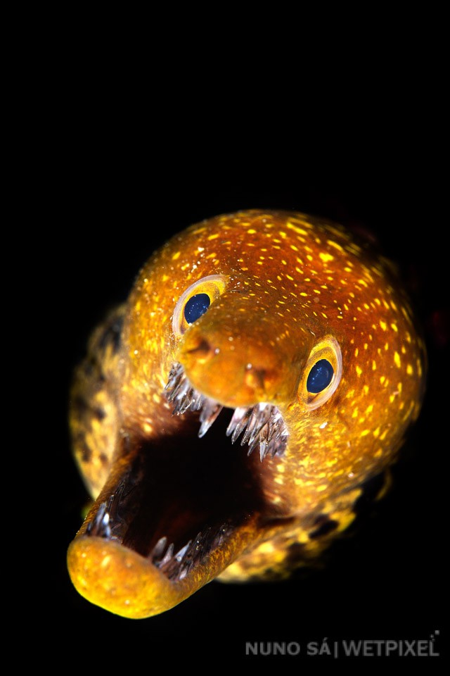 Fangtooth moray (*Enchelycore anatina*)  Several species of morays can be seen hiding among the rocks on a typical dive in the Azores. The fangtooth moray (or tiger moray) is one of the most empressive and photogenic species.