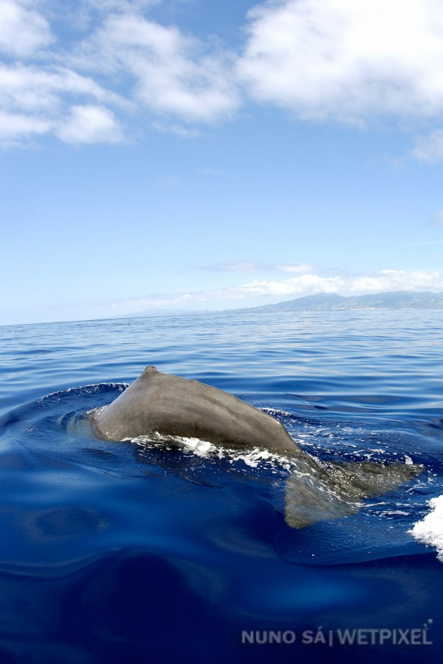 """Sperm whale (*Physeter macrocephalus*)   """"Reproduction groups"""" of Sperm whales, formed by females and calves can be seen year -round in the Azores.  Image taken under special permit from the Azores Goverment."""