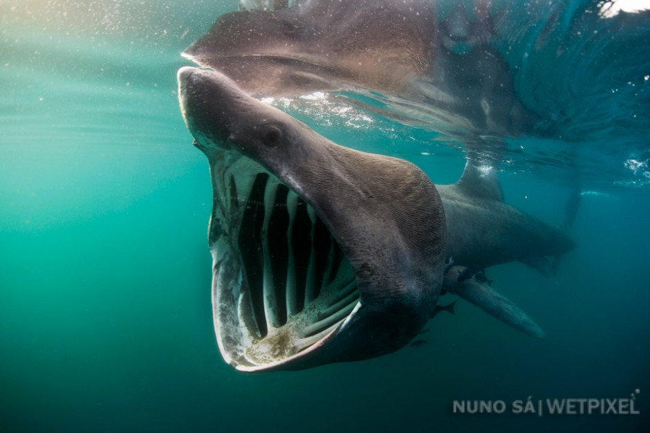 Basking shark (*Cetorhinus maximus*)- São Miguel Island.  The basking shark is only sighted rarely in the Azores, however, several records do exist, including one from 1956 when it was found in the stomach of a sperm whale on Faial Island.