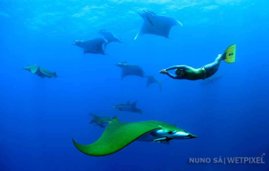 """Devil ray (*Mobula tarapacana*). Ambrósio seamount - Santa Maria Island.  Diving """"in the blue"""" with big pelagic species is one of the Azores highlights, and the water column is definitely home to some of the most amazing creatures"""