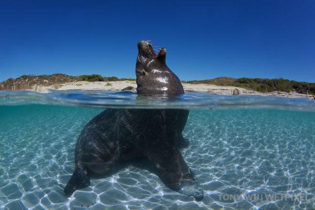 201103 carnac underwater 6219 australian sea lion yawning neophoca cinerea