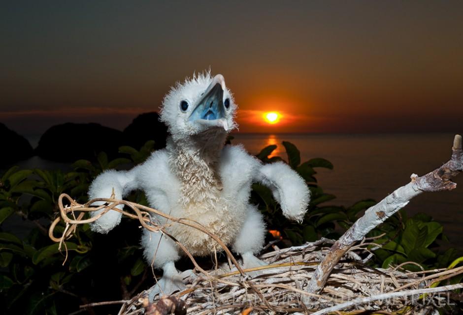 "**Twelfth Prize**: Cristian Dimitrius. ""*Baby frigate bird*""."