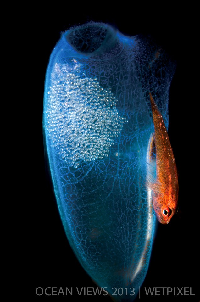 "**Fourth Prize**: Steven Kovacs. ""*Goby and eggs*""."