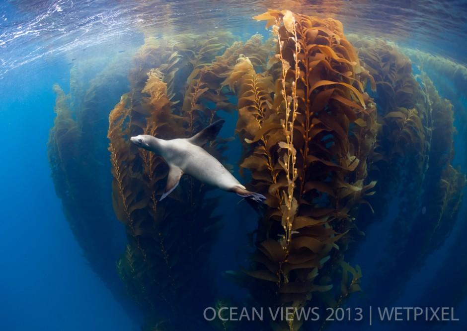 """**Sixth Prize**: Claudio Contreras. """"*Koob sealion in kelp forest*""""."""