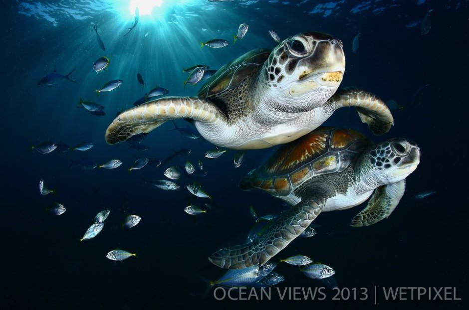 """**Eight Prize**: Francis Perez. """"*Green sea turtles*""""."""