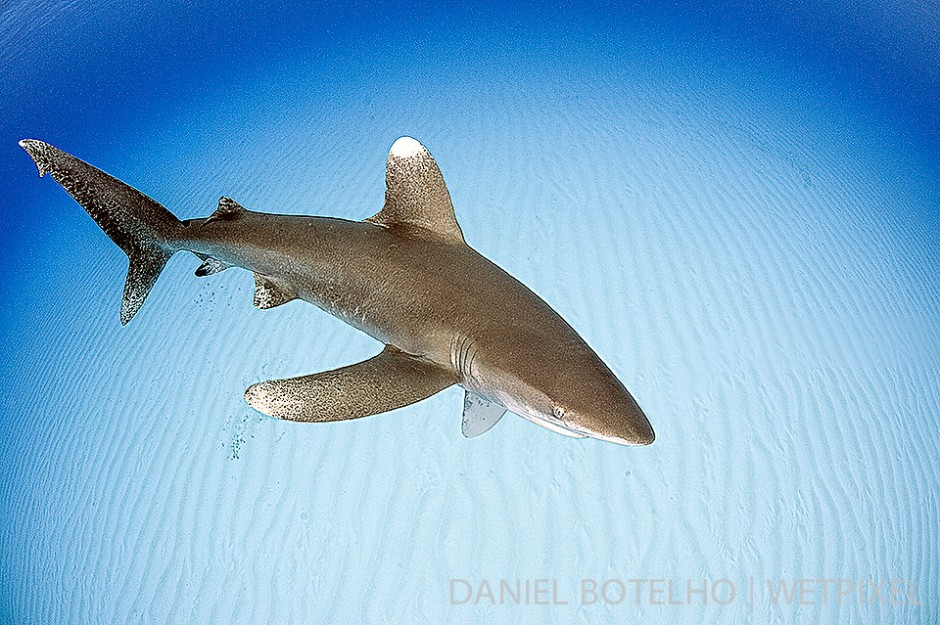 Shallow sand bottom and oceanic white tip.