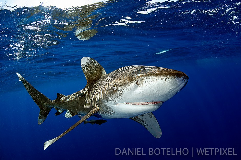The beauty of the oceanic white tip. (I)