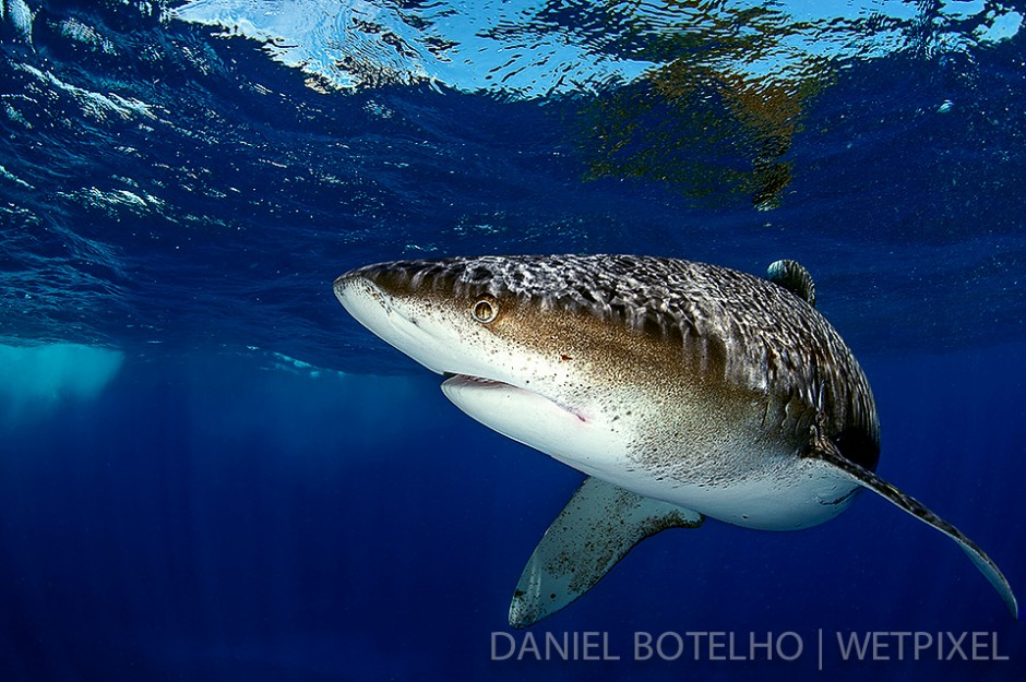 The beauty of the oceanic white tip. (II)