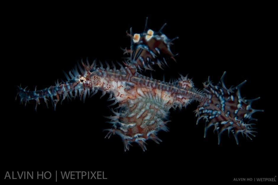 Ornate Ghost Pipefish (*Solenostomus paradoxus*).