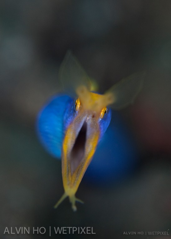 Blue Ribbon Eel (*Rhinomuraena quaesita*). Shallow DOF shot of a blue ribon eel.