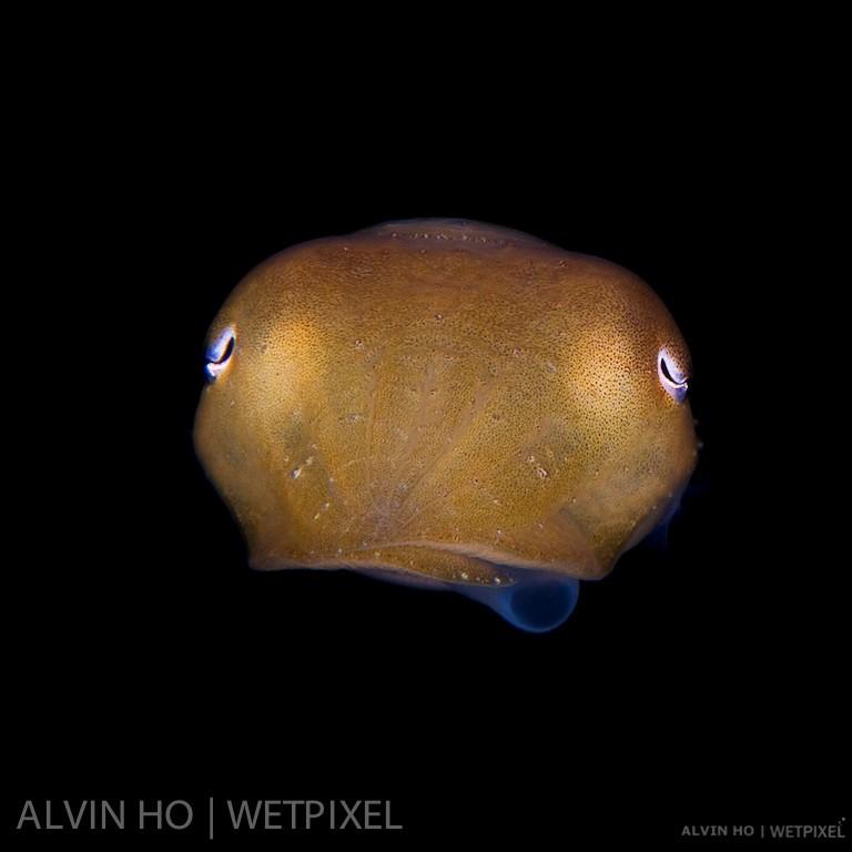 Broadclub Cuttlefish (*Sepia latimanus*) smoking!