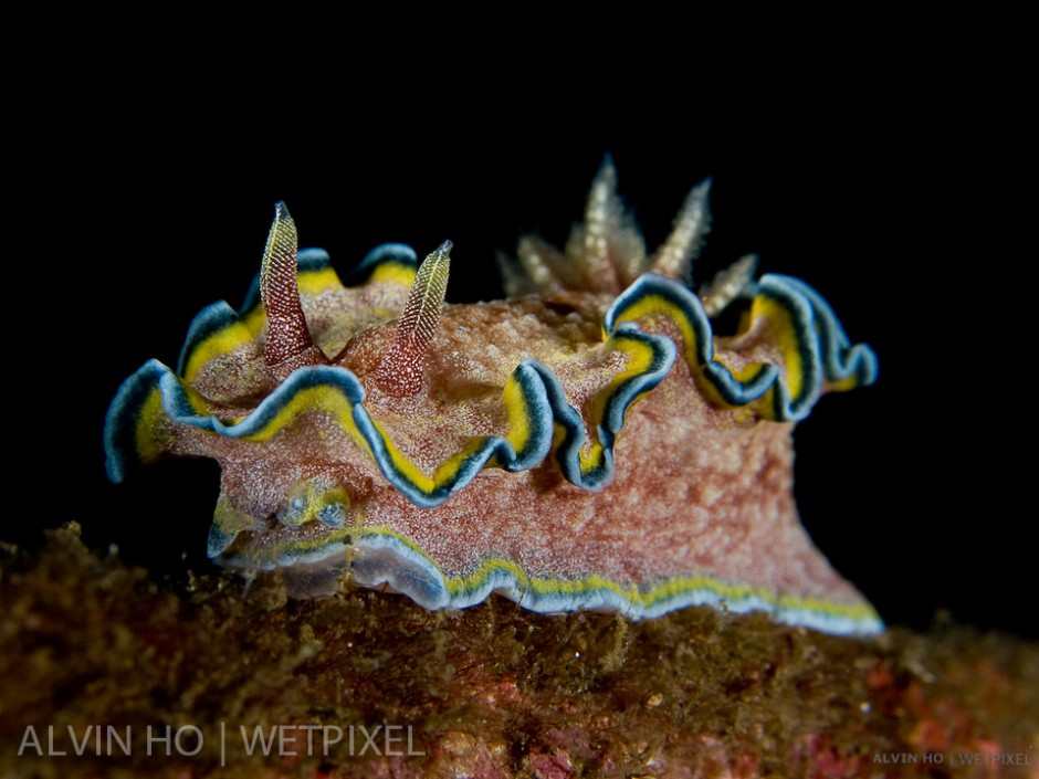Glossodoris Nudibranch (*Glossodoris cincta*).