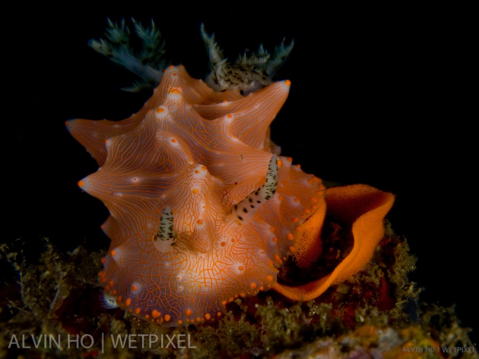 Halgerda Nudibranch (*Halgerda batangas*) laying its egg spiral.