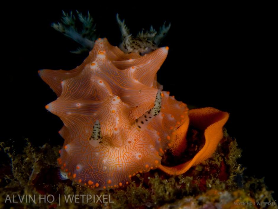 Halgerda Nudibranch (*Halgerda batangas*) laying its egg spiral.