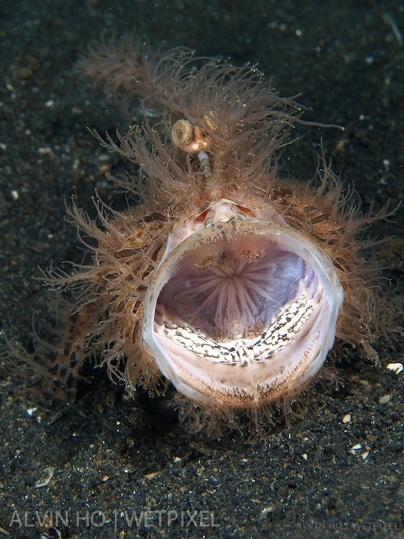 Hairy Frogfish (*Antennarius striatus*).  A yawning hairy frogfish looks like a roaring lion.