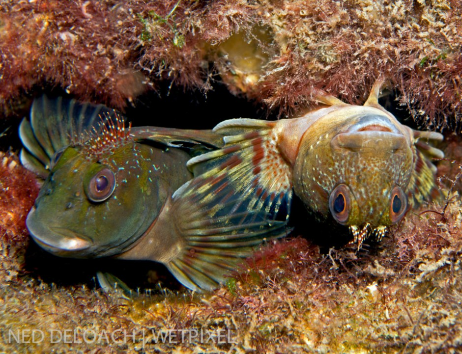 Egg-laying fishes are typically reproductively active during the early morning hours. Anna found this pair of Molly Miller blennies, (*Scartella cristata*), a foot below the surface, laying and fertilizing a nest of bubble-gum pink eggs.