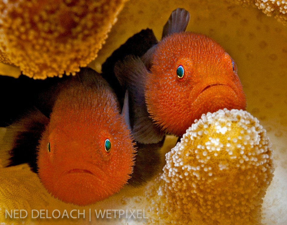 A pair of Redhead Coralgobies, (*Paragobiodon echinocephalus*), stare out from their Frisbee-sized coral home like puppies in a pound. The pair initiated my quest to track down and photograph as many coral gobies as I could find. Ambon, Indonesia.