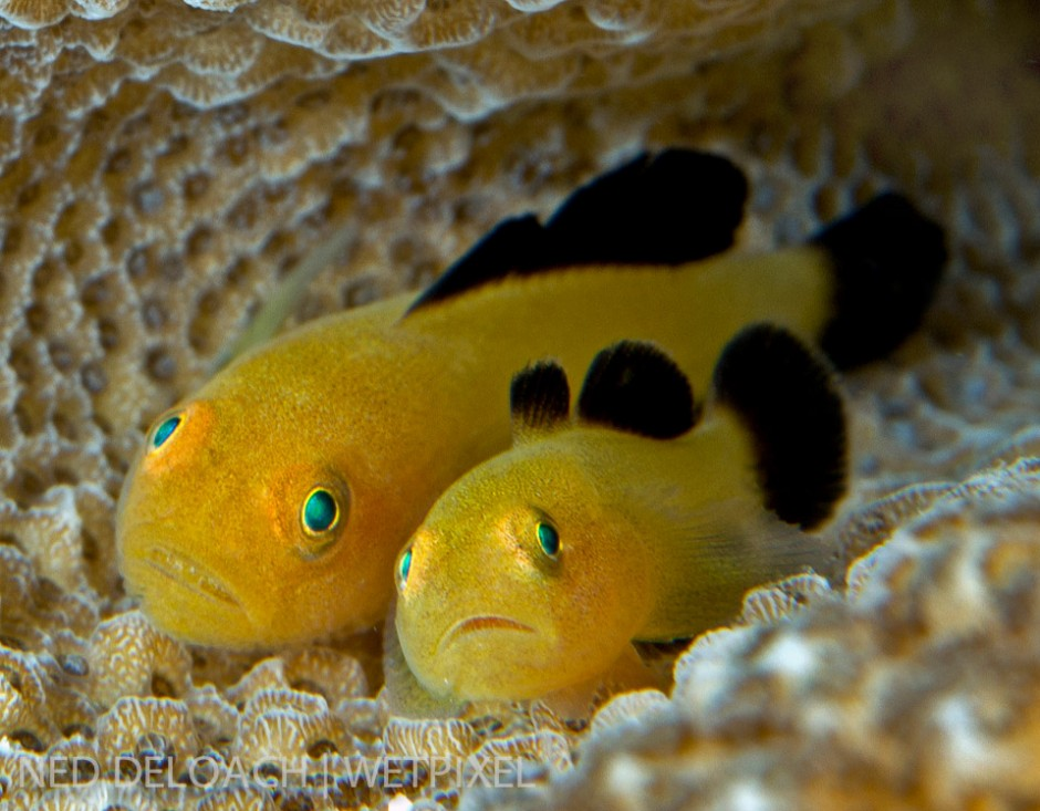 Just when I think that cute can't get any cuter we find a pair of Blackfin Coralgobies, (*P. lacunicolus*). Ceram, Indonesia.