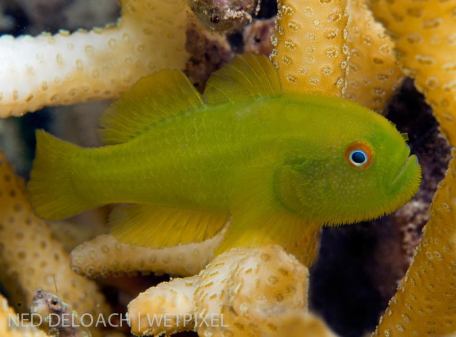 Interestingly the Golden Coralgoby, (*P. xanthosoma*), isn't always golden. During the hour it took to get a clear shot, one of the pair I was observing slowly transforms from yellow to emerald green.