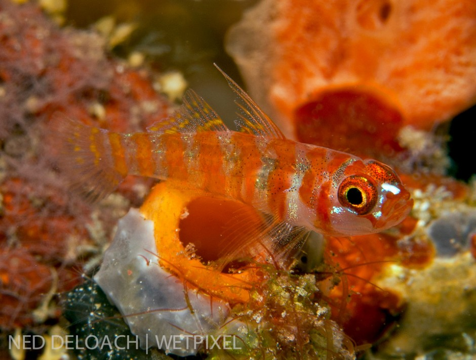 I've been attempting to find and photograph a Candycane Dwarfgoby,(*Trimma cana*), ever since I first saw an image of the little beauty some years back. Halmahera, Indonesia.