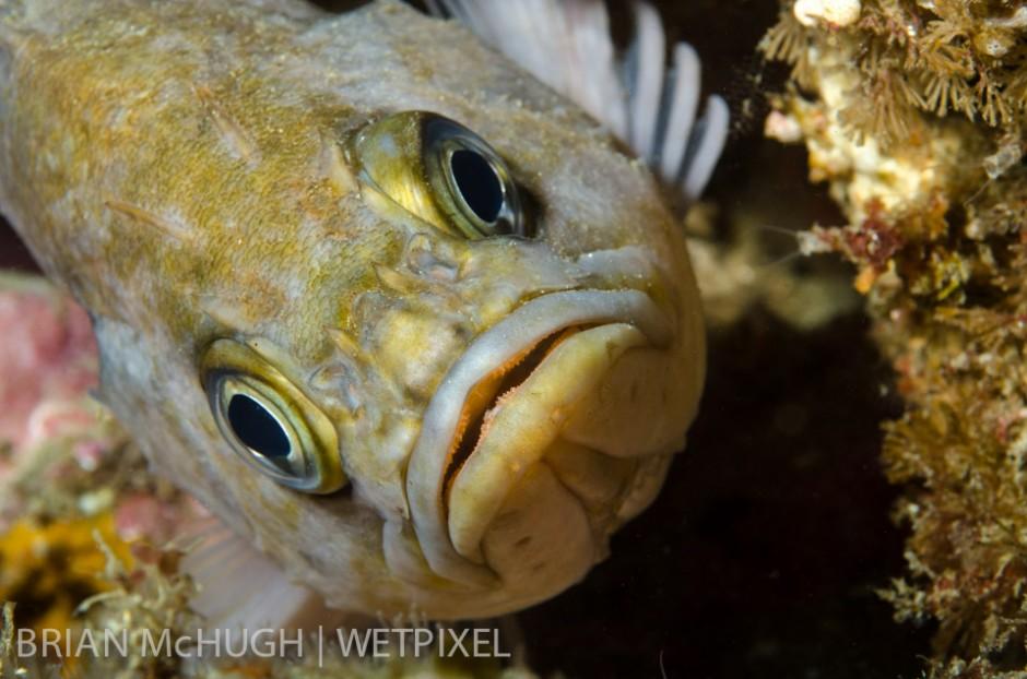 Kelp rockfish (*Sebastes atrovirens*) at Anacapa Island, California