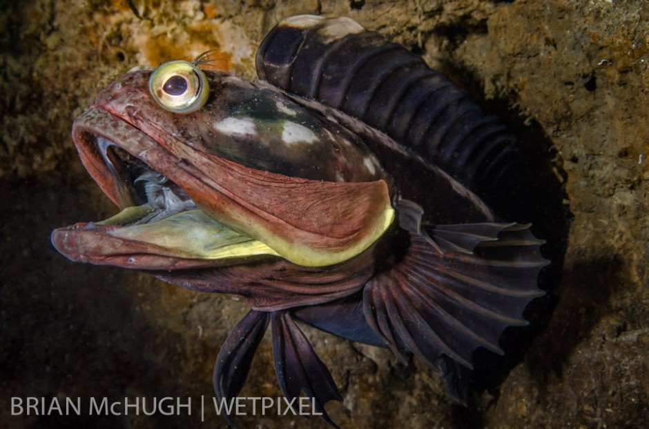 Open wide, this Sarcastic Fringehead (*Neoclinus blanchardi*) was chasing off one of his rivals.  Taken in La Jolla, California.
