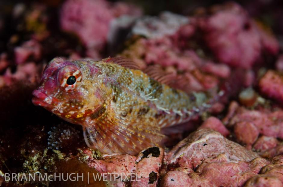Sculpin (*Scorpaena guttata*) at Santa Barbara Island, California