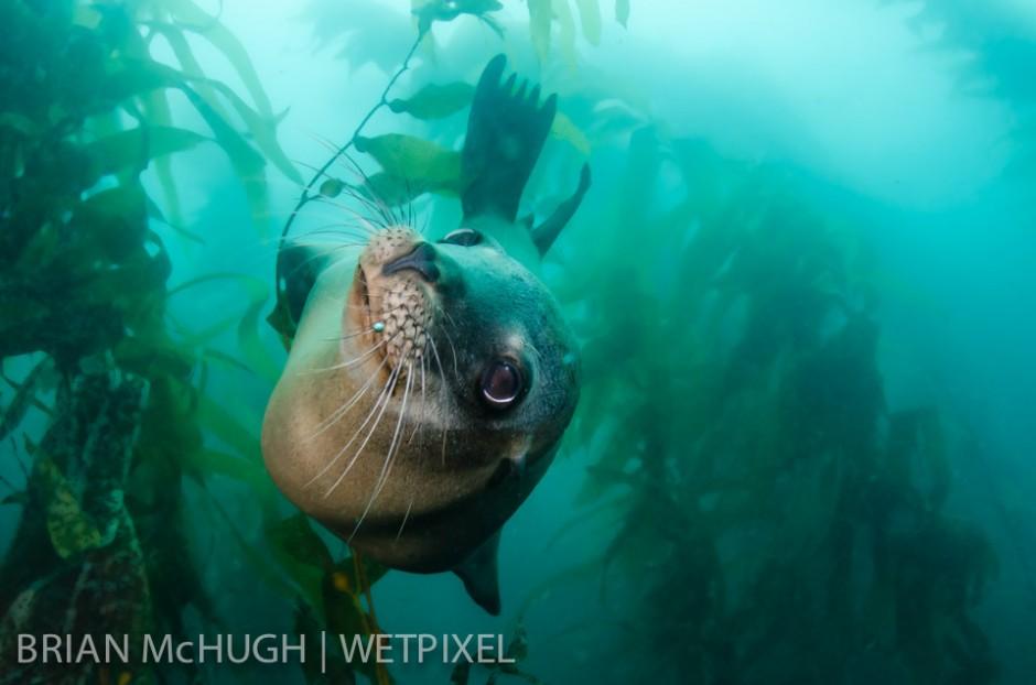 Sea lion (*Zalophus californianus*) at Santa Barbara Island, California