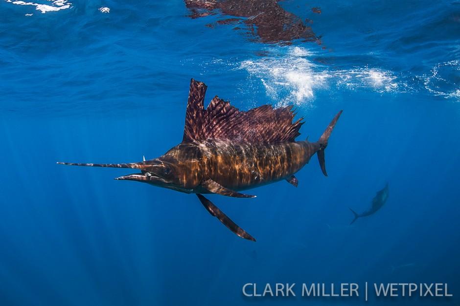 Atlantic Sailfish - *Istiophoris albicans*.