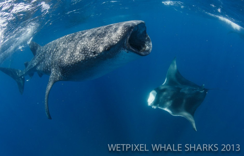 Eric Cheng: Whale shark and manta