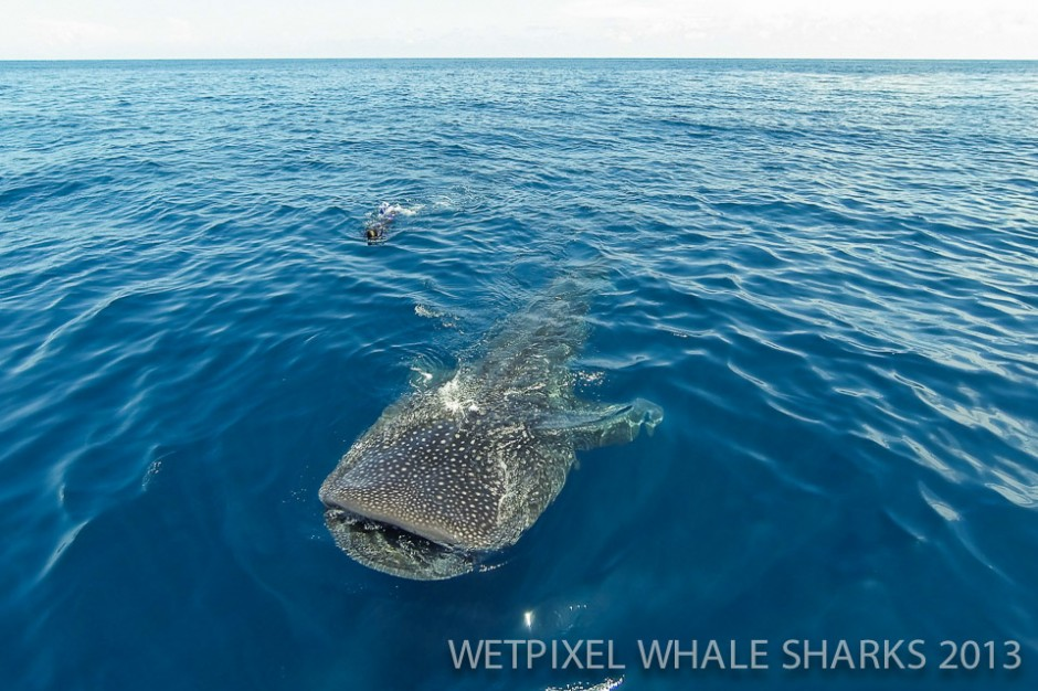 Eric Cheng: Quadcopter's view of a whale shark