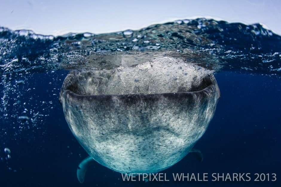 "Eric Cheng: Whale shark gulping during a ""botella""."