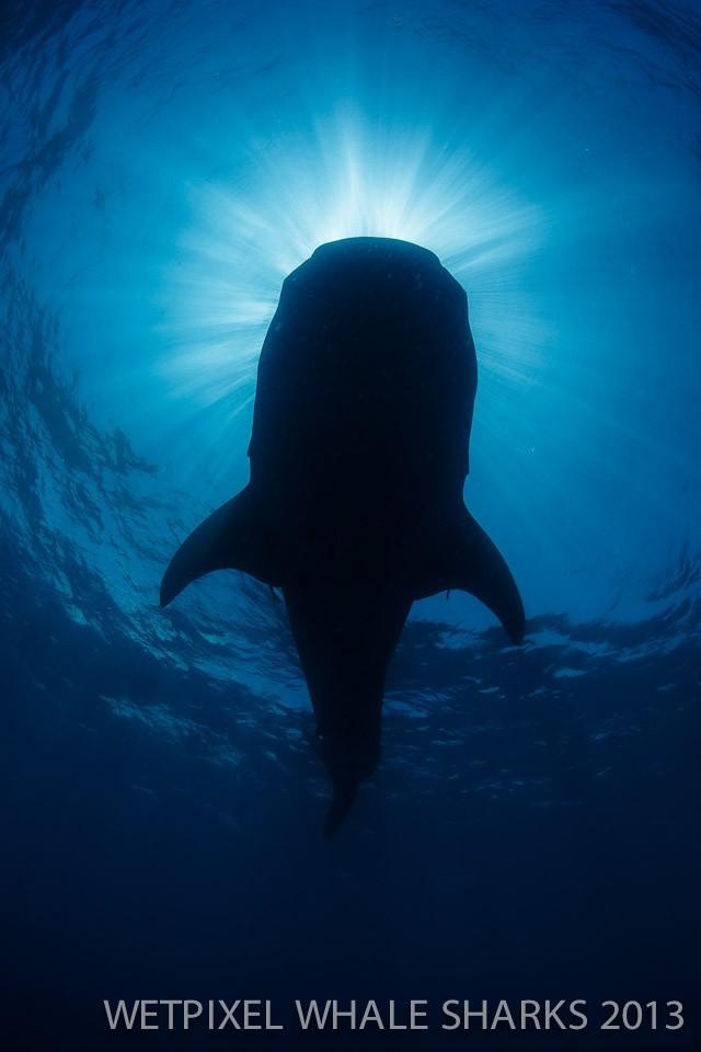 Eric Cheng: Under a whale shark