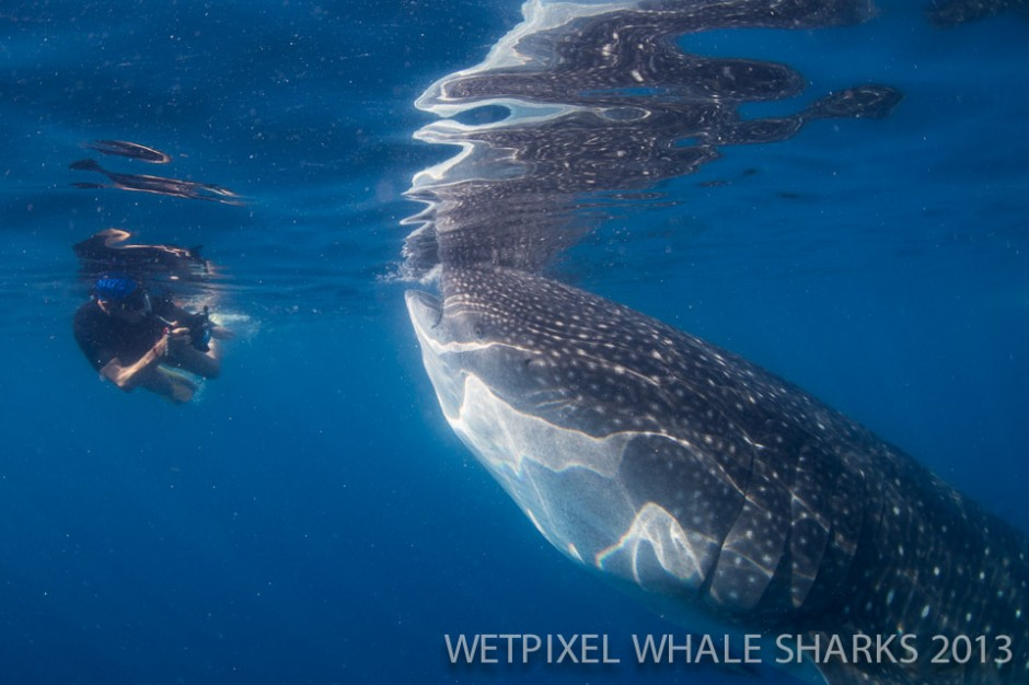 Terry Schuller: Photographer with whale shark.