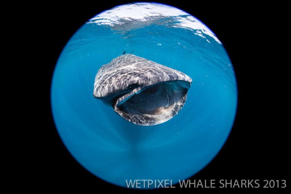 Adam Hanlon: Whale shark circular fisheye