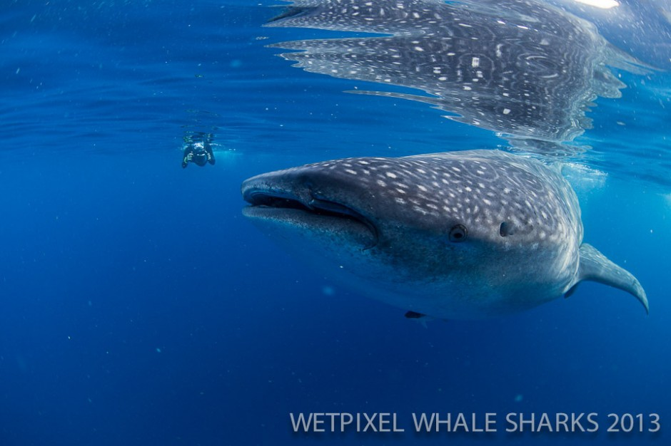 Adam Hanlon: Whale shark and snorkeller